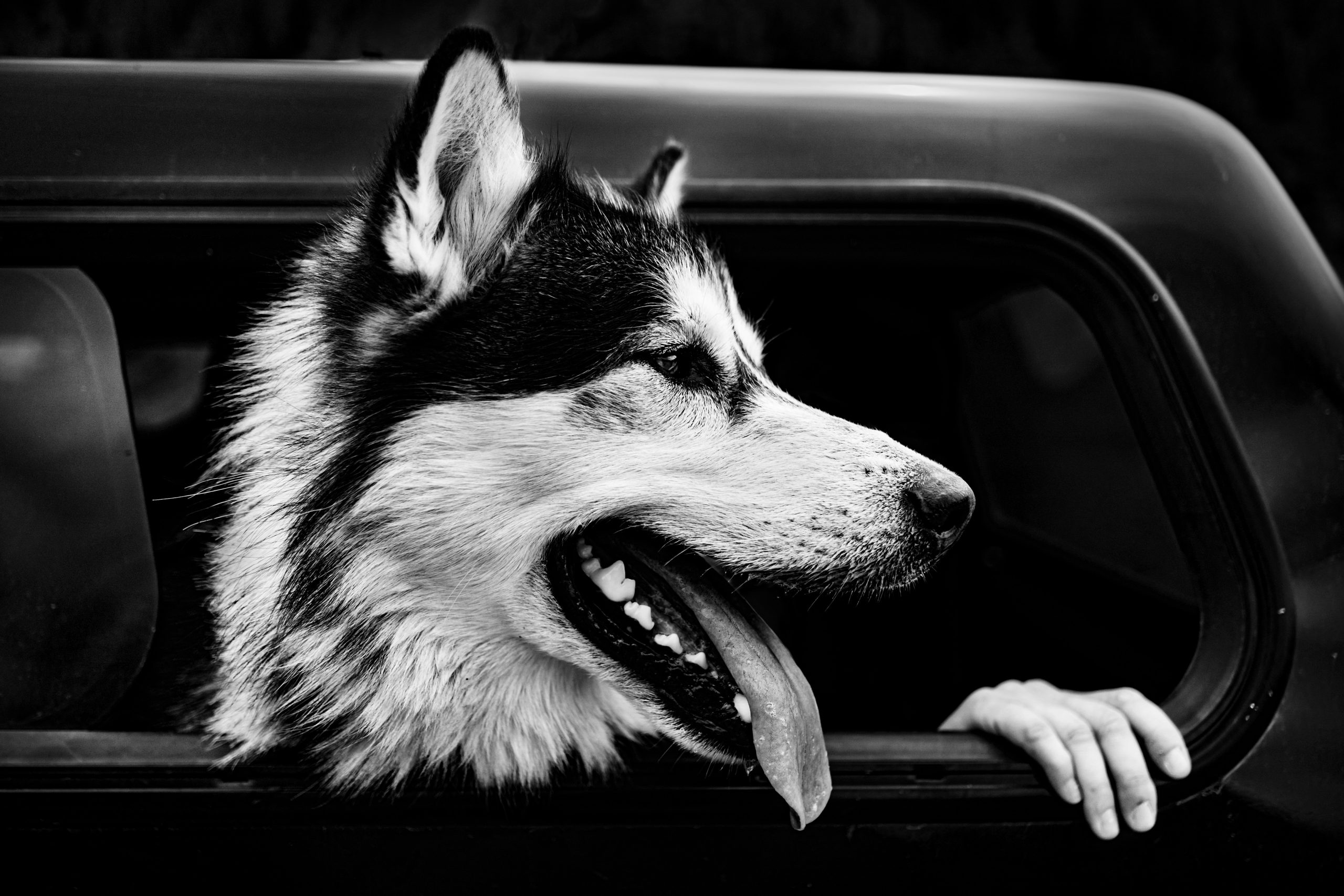 black and white photo of a husky